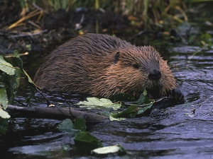 beaver0